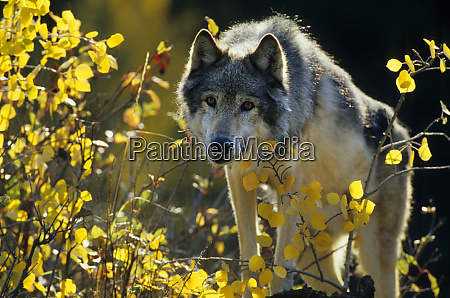 gray wolf canis lupus in fall
