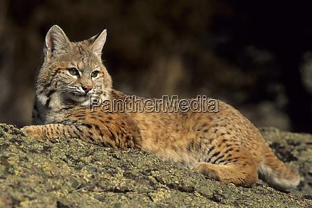 bobcat lynx rufus laying down montana