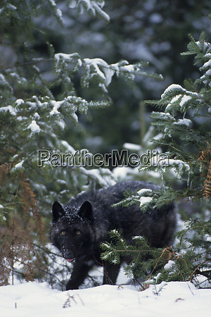 gray wolf canis lupus with black