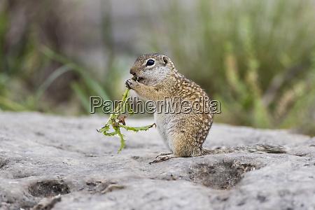 mexican ground squirrel now rio grande
