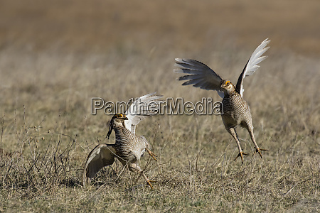 lesser prairie chicken tympanuchus pallidicinctus on