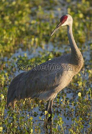 sandhill crane grus canadensis florida