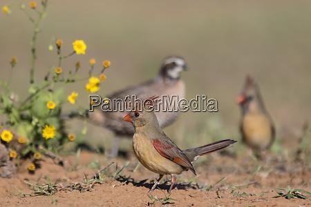 northern bobwhite quail colinus virgianus male