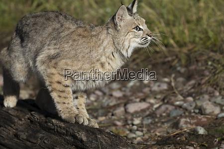 bobcat profile paws montana