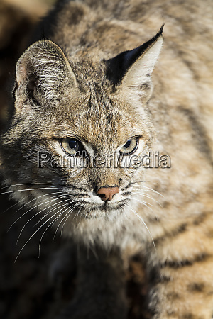 bobcat profile