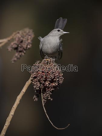 gray catbird on sumac berries dumetella
