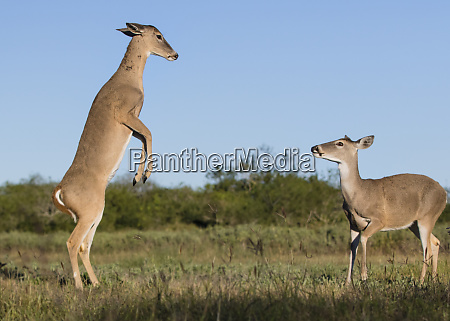 white tailed deer odocoileus virginianus females