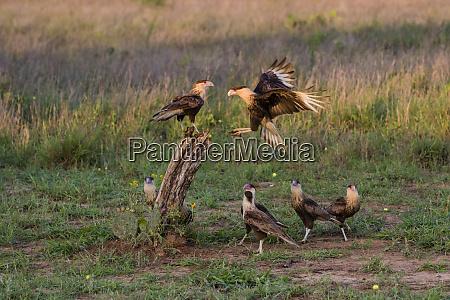 crested caracaras caracara cheriway juveniles landing