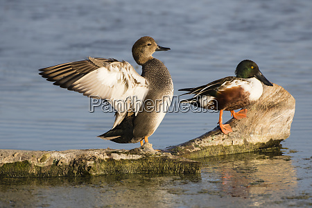 gadwall anas strepera stretching wings