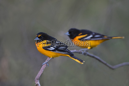 baltimore oriole icterus galbula adults perched