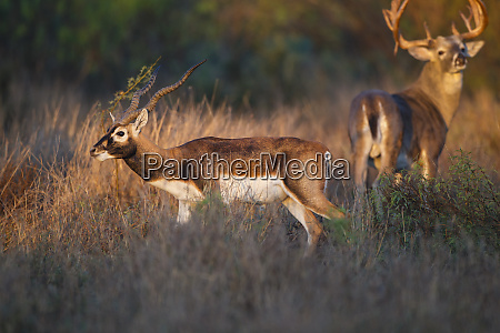 blackbuck antelope cervicapra exotic animal in