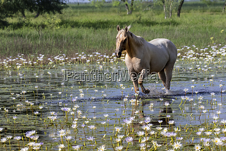 horse wading in shallow pond