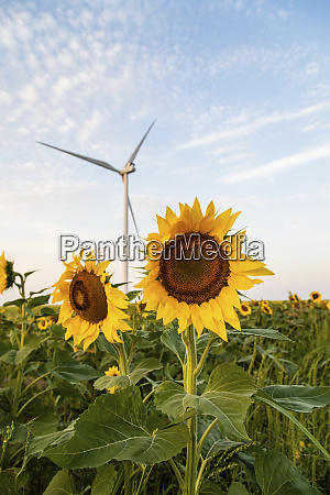 sunflower helianthus annuus cultivated as crop