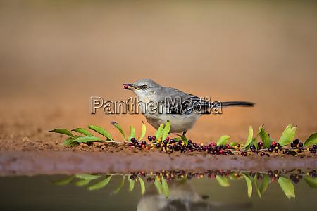 northern mockingbird mimus polyglottos feeding