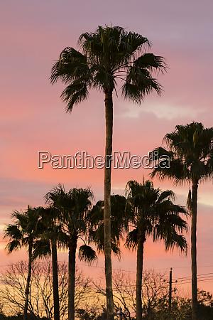 palms washingtonia robusta at sunset