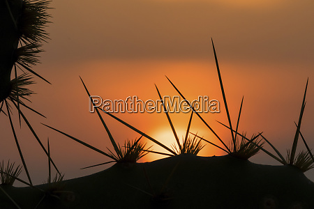 texas prickly pear spines and sunset