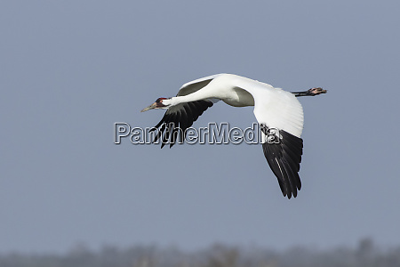 whooping cranes grus americana adult flying