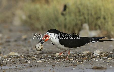 black skimmer rynchops niger adult carrying