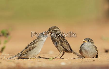 house sparrow passer domesticus female feeding