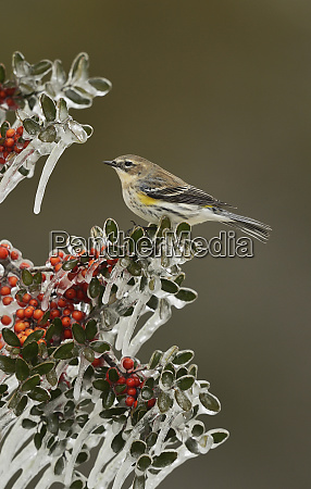 yellow rumped warbler dendroica coronata adult