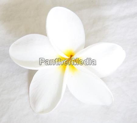 plumeria tropical flower white on white