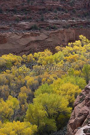 usa utah autumn cottonwoods against textured