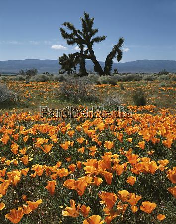 usa california antelope valley a joshua