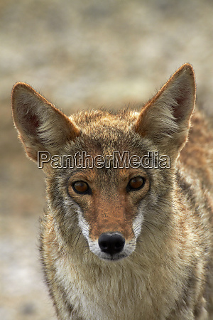 coyote canis latrans at badwater basin