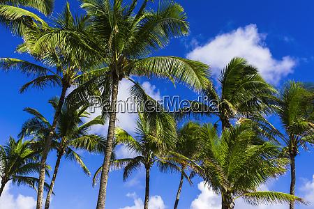 coconut palms kapaa kauai hawaii usa