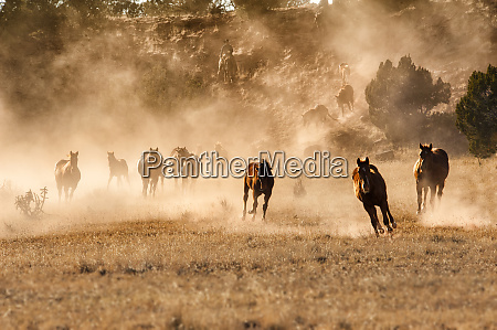 horses running in dust with wranglers