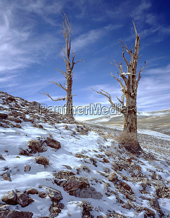 usa california inyo national forest old