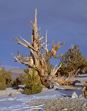 usa california inyo national forest ancient