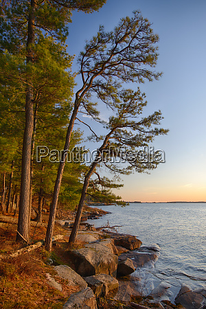 usa, , new, york, state., pitch, pines - 27844392