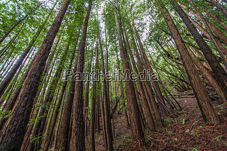 forest scene in muir woods state