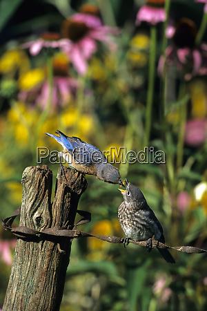 eastern bluebird sialia sialis female feeding
