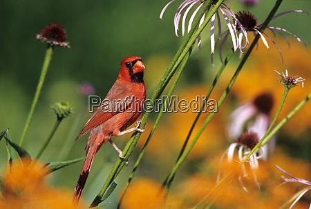 northern cardinal cardinalis cardinalis male on
