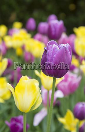 yellow and purple tulips chicago botanic