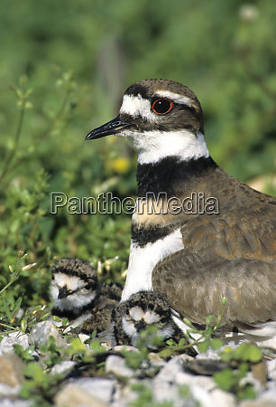 killdeer charadrius vociferus adult with 2