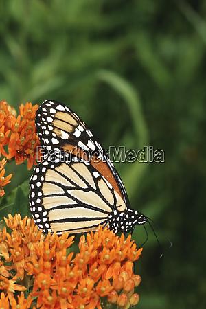 monarch danaus plexippus on butterfly milkweed