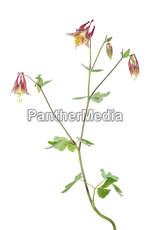 eastern red columbine aquilegia canadensis on
