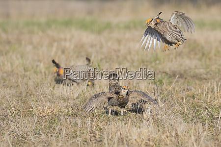 greater prairie chickens tympanuchus cupido males