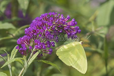 cloudless sulphur phoebis sennae on butterfly