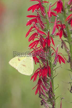 cloudless sulphur phoebis sennae on cardinal
