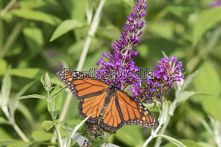 monarch danaus plexippus on butterfly bush