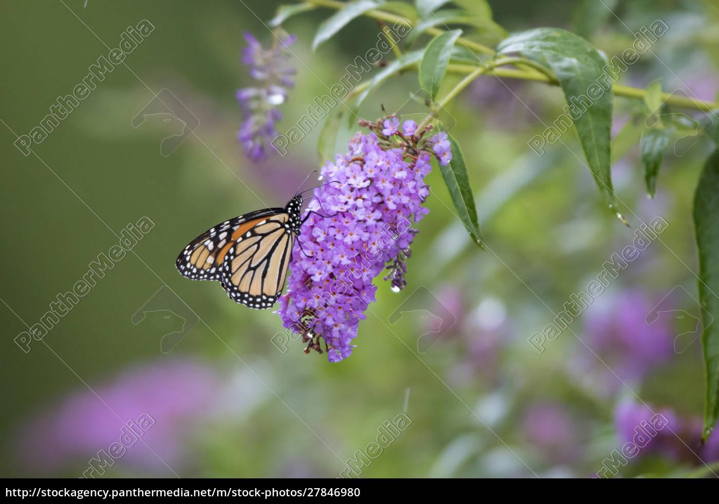monarch, (danaus, plexippus), on, butterfly, bush - 27846980