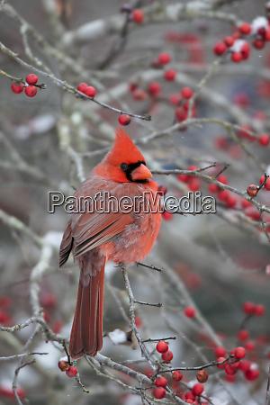 male northern cardinal cardinalis cardinalis in
