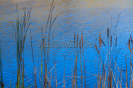 cattails at edge of lake