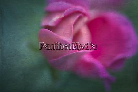 vining geranium bud digitally altered