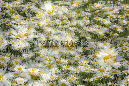 multiple exposure of group of daisy