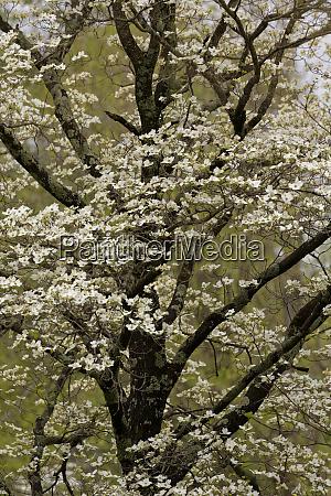 white dogwood trees in full bloom